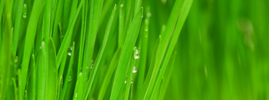 Fresh green wheat grass with drops dew